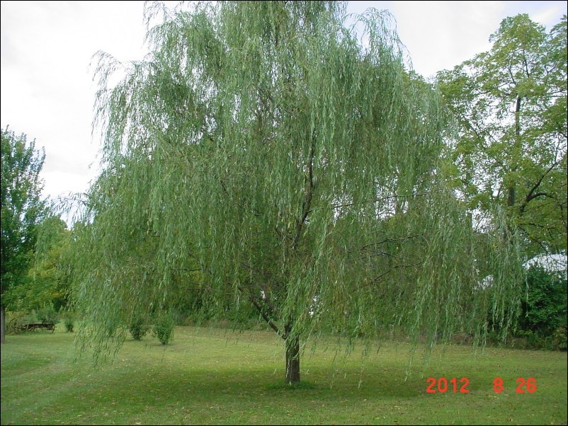 Weeping Willow Trees For Small Gardens Garden Ftempo